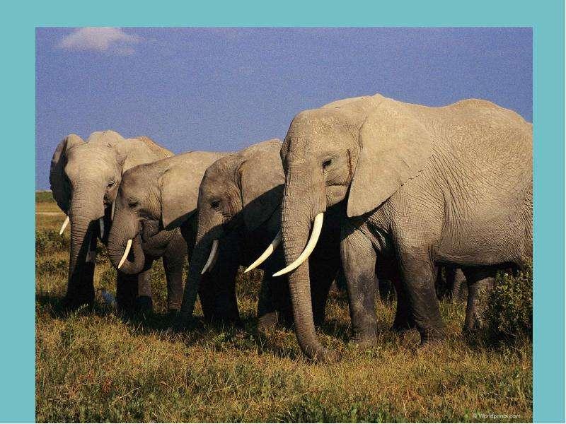Жизнь слонов под угрозой! Численность самых крупных млекопитающих на планете сокращается. Сегодня в