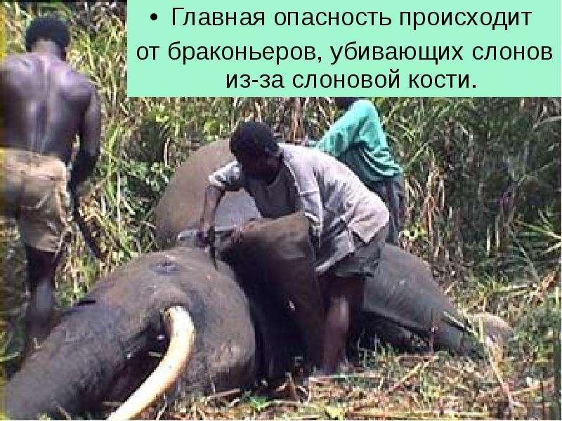 Главная опасность происходит Главная опасность происходит от браконьеров, убивающих слонов из-за сло