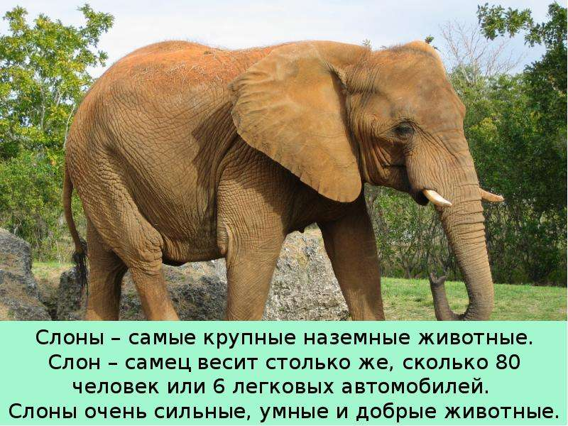 Крупные наземные животные слоны, слайд 5