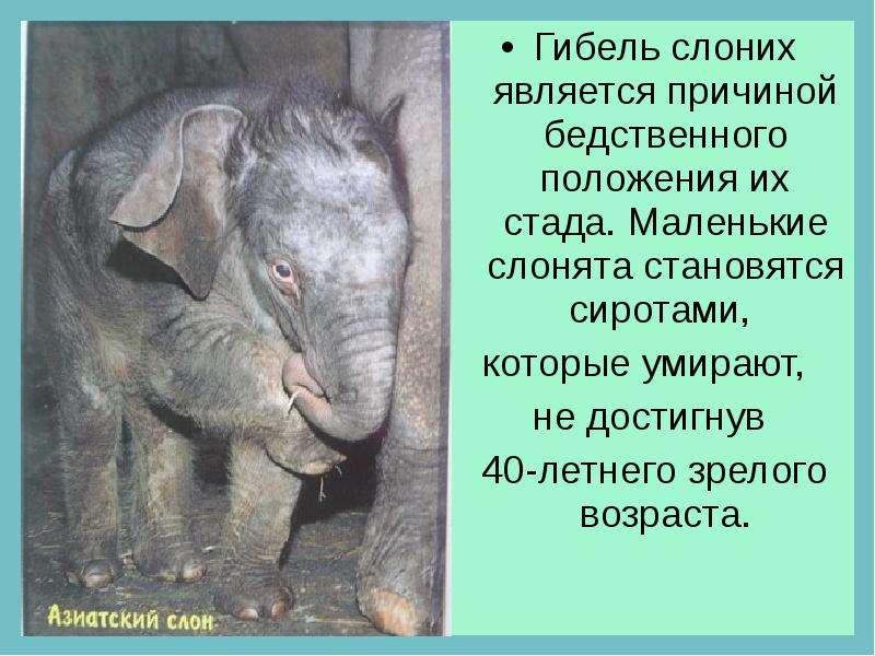 Гибель слоних является причиной бедственного положения их стада. Маленькие слонята становятся сирота