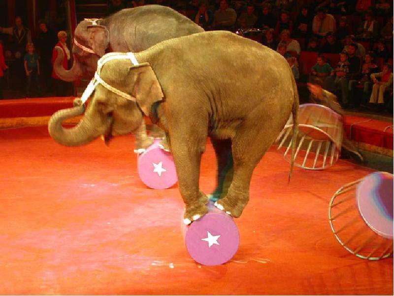 Во многих зоопарках и цирках жестоко обращаются со слонами, заставляя их повиноваться с применением