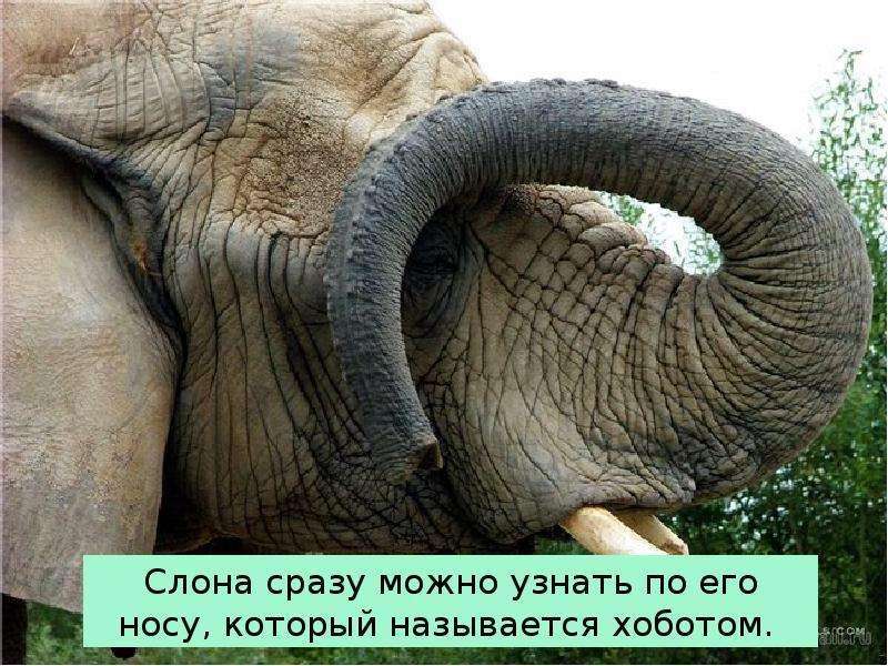 Крупные наземные животные слоны, слайд 6