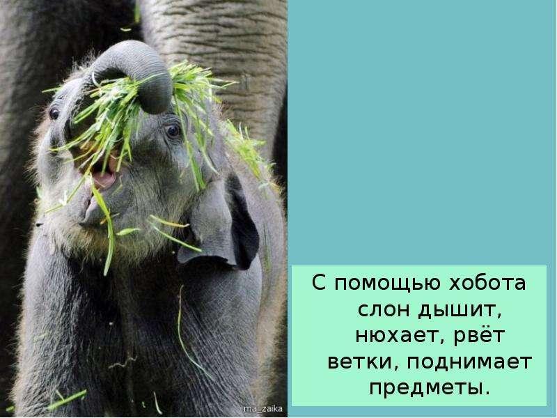 С помощью хобота слон дышит, нюхает, рвёт ветки, поднимает предметы. С помощью хобота слон дышит, ню