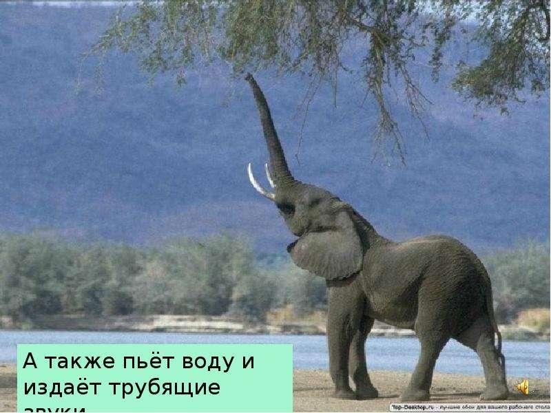 Крупные наземные животные слоны, слайд 8