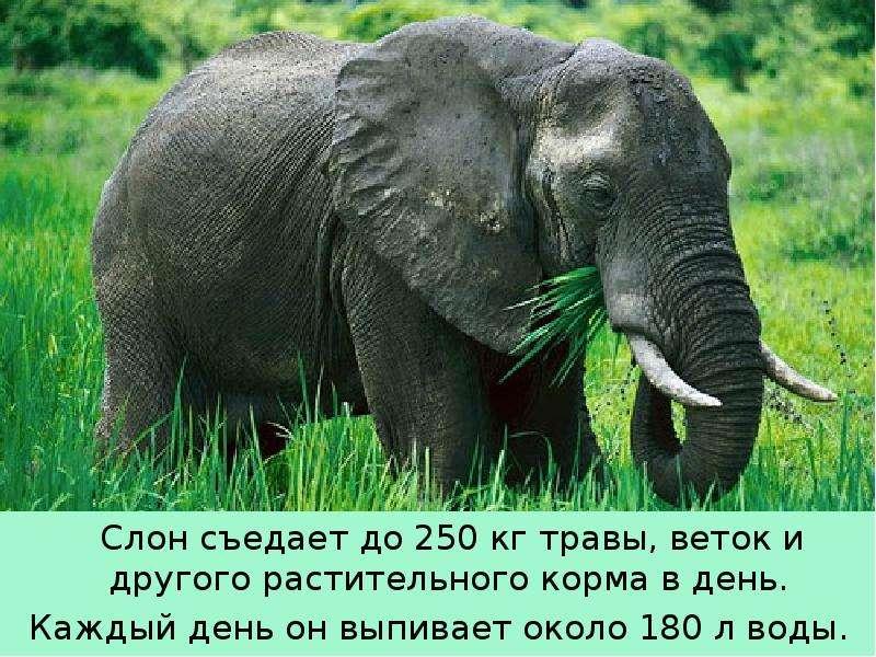 Крупные наземные животные слоны, слайд 9