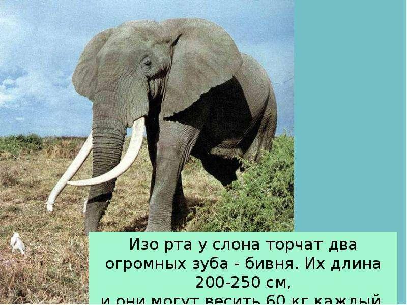 Крупные наземные животные слоны, слайд 10