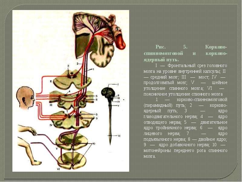 Двигательная система. Признаки центрального и периферического параличей. Методы исследования, слайд 6