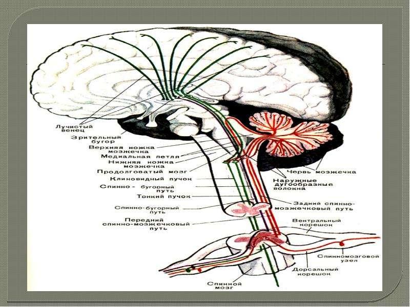 Двигательная система. Признаки центрального и периферического параличей. Методы исследования, слайд 8