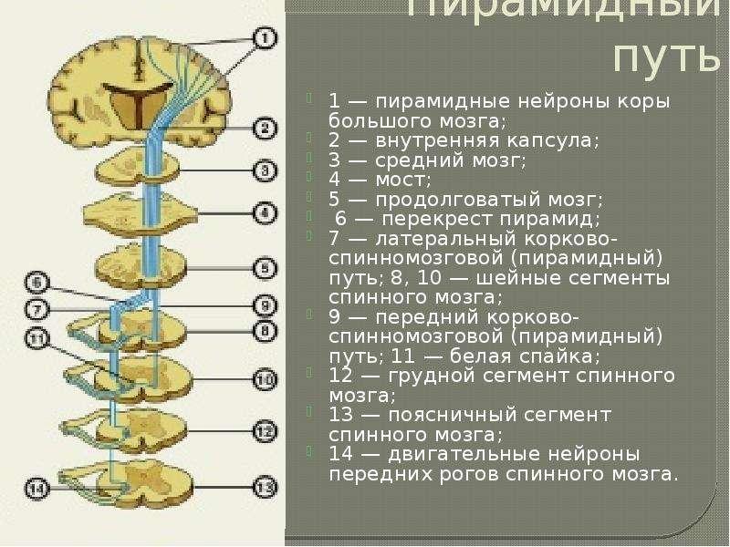 Пирамидный путь 1 — пирамидные нейроны коры большого мозга; 2 — внутренняя капсула; 3 — средний мозг