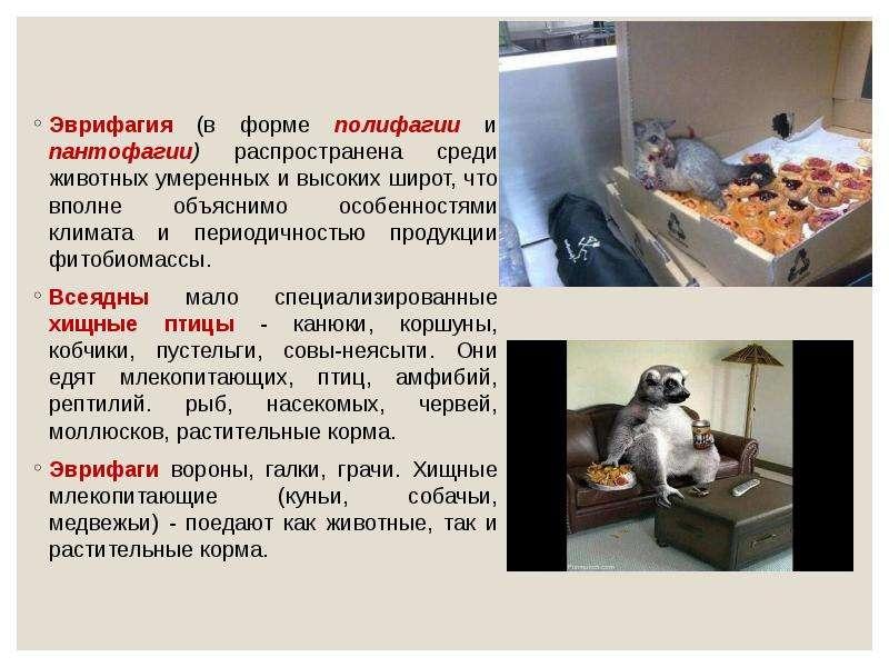 Эврифагия (в форме полифагии и пантофагии) распространена среди животных умеренных и высоких широт,