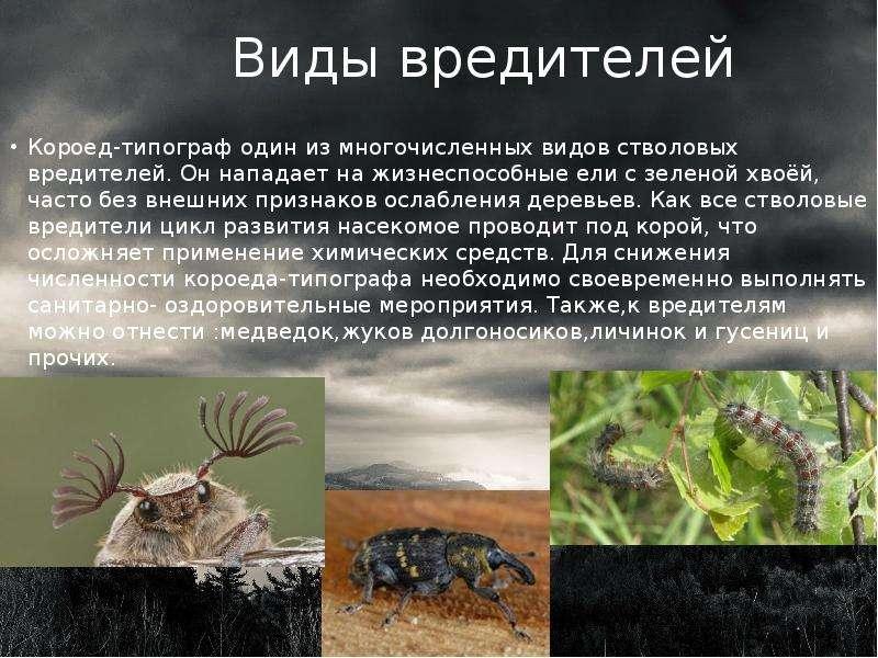 Виды вредителей Короед-типограф один из многочисленных видов стволовых вредителей. Он нападает на жи