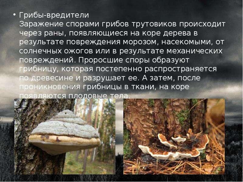 Грибы-вредители Заражение спорами грибов трутовиков происходит через раны, появляющиеся на коре дере