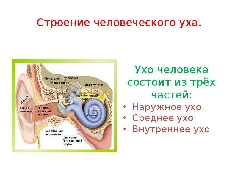 Строение человеческого уха. Ухо человека состоит из трёх частей: Наружное ухо. Среднее ухо Внутренне