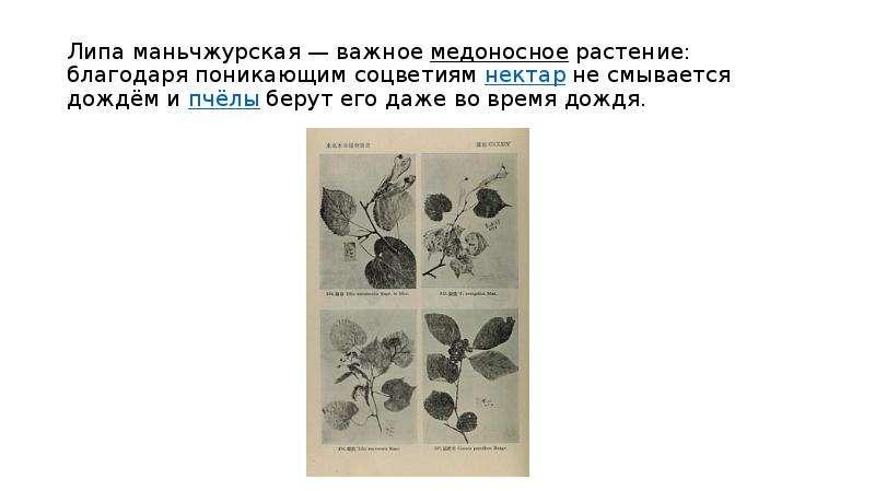 Липа маньчжурская — важное медоносное растение: благодаря поникающим соцветиям нектар не смывается д