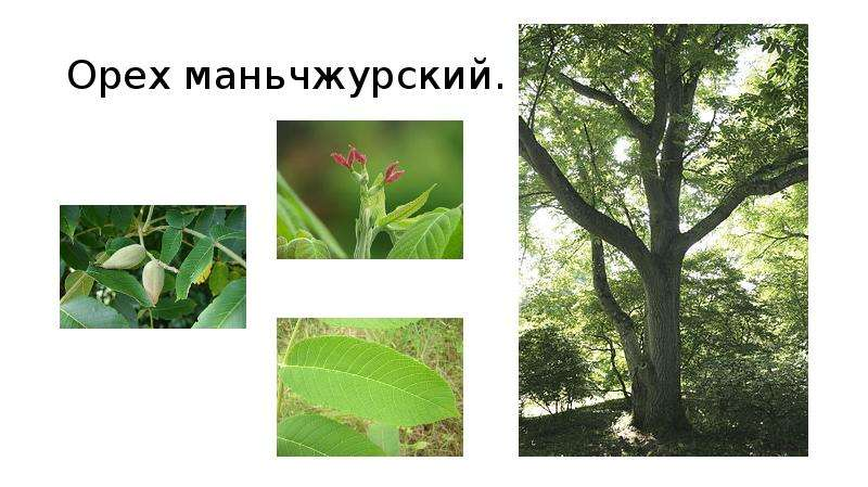 Орех маньчжурский.