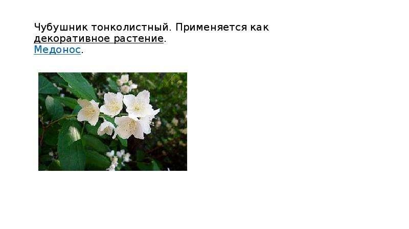Чубушник тонколистный. Применяется как декоративное растение. Медонос.