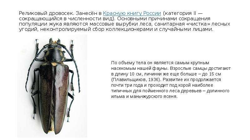 Реликовый дровосек. Занесён в Красную книгу России (категория II — сокращающийся в численности вид).