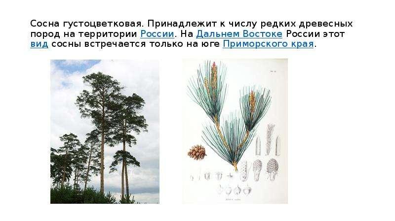 Сосна густоцветковая. Принадлежит к числу редких древесных пород на территории России. На Дальнем Во