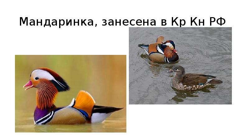 Мандаринка, занесена в Кр Кн РФ