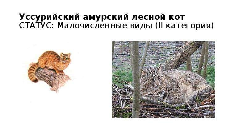 Уссурийский амурский лесной кот СТАТУС: Малочисленные виды (II категория)
