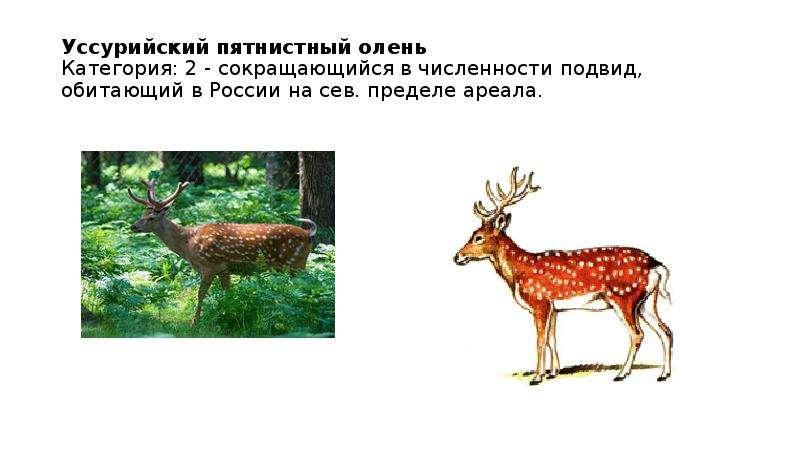 Уссурийский пятнистный олень Категория: 2 - сокращающийся в численности подвид, обитающий в России н