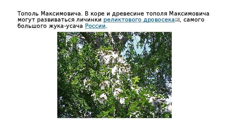 Тополь Максимовича. В коре и древесине тополя Максимовича могут развиваться личинки реликтового дров