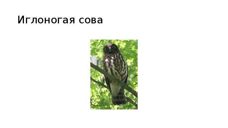 Иглоногая сова
