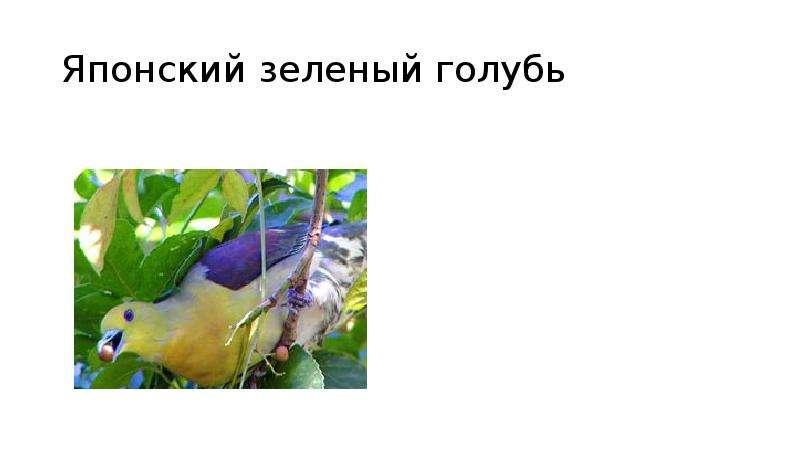 Японский зеленый голубь