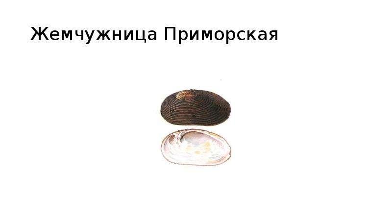 Жемчужница Приморская