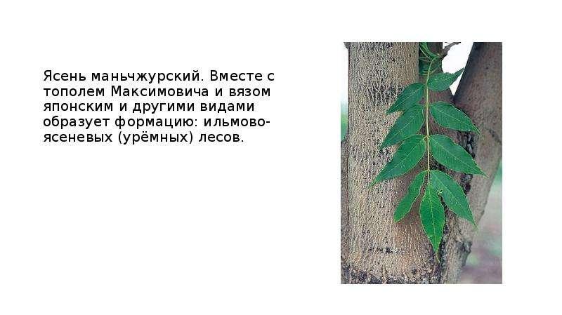 Ясень маньчжурский. Вместе с тополем Максимовича и вязом японским и другими видами образует формацию