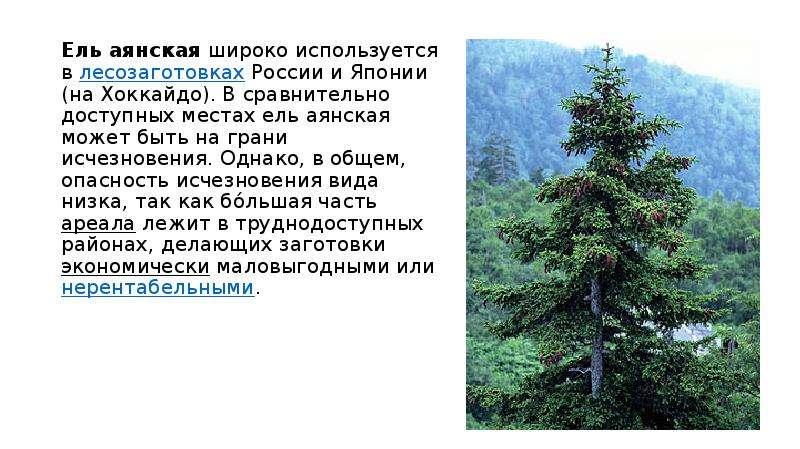 Ель аянская широко используется в лесозаготовках России и Японии (на Хоккайдо). В сравнительно досту