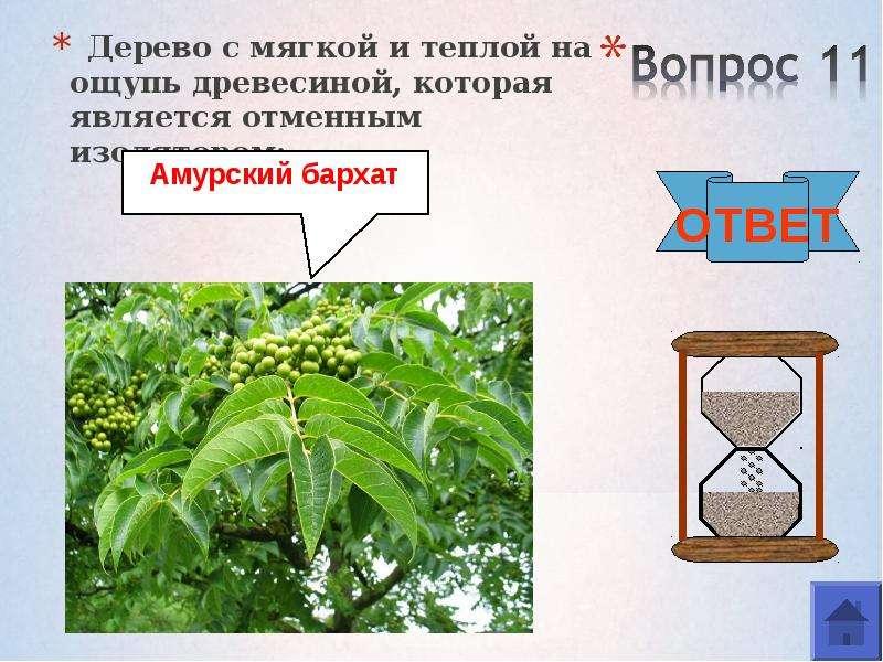 Дерево с мягкой и теплой на ощупь древесиной, которая является отменным изолятором: Дерево с мягкой