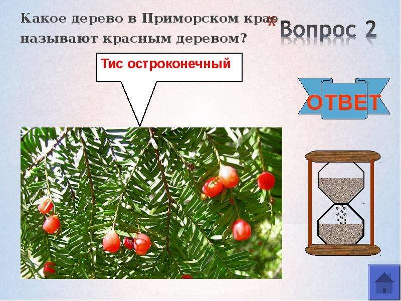 Какое дерево в Приморском крае Какое дерево в Приморском крае называют красным деревом?