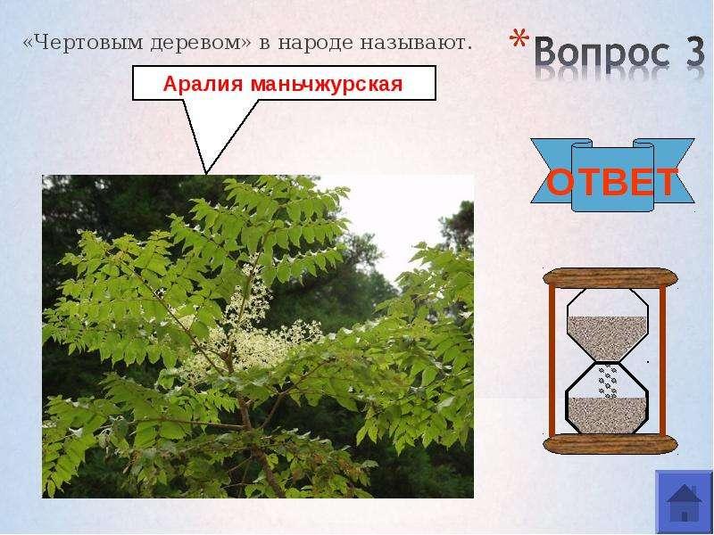 «Чертовым деревом» в народе называют. «Чертовым деревом» в народе называют.