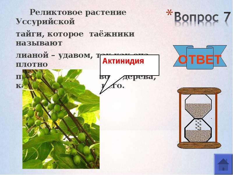 Реликтовое растение Уссурийской Реликтовое растение Уссурийской тайги, которое таёжники называют лиа