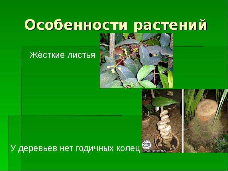 Особенности растений Жёсткие листья