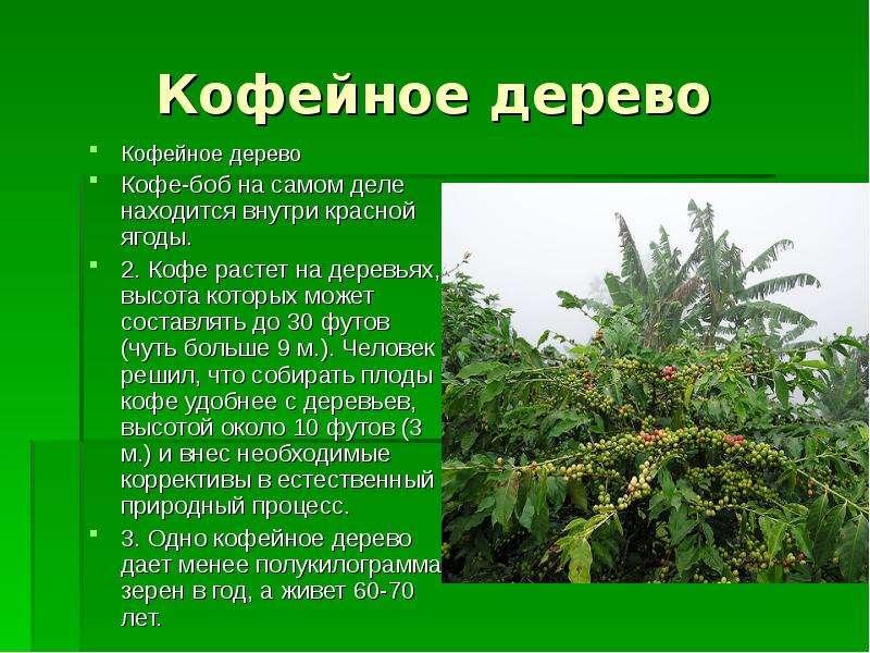 Кофейное дерево Кофейное дерево Кофе-боб на самом деле находится внутри красной ягоды. 2. Кофе расте