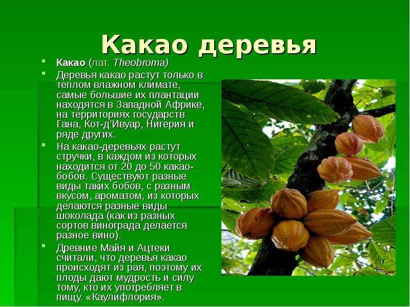 Какао деревья Какао (лат. Theobroma) Деревья какао растут только в теплом влажном климате, самые бол