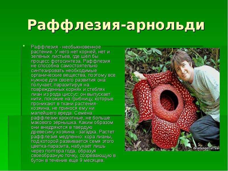 Раффлезия-арнольди Раффлезия - необыкновенное растение. У него нет корней, нет и зелёных листьев, гд