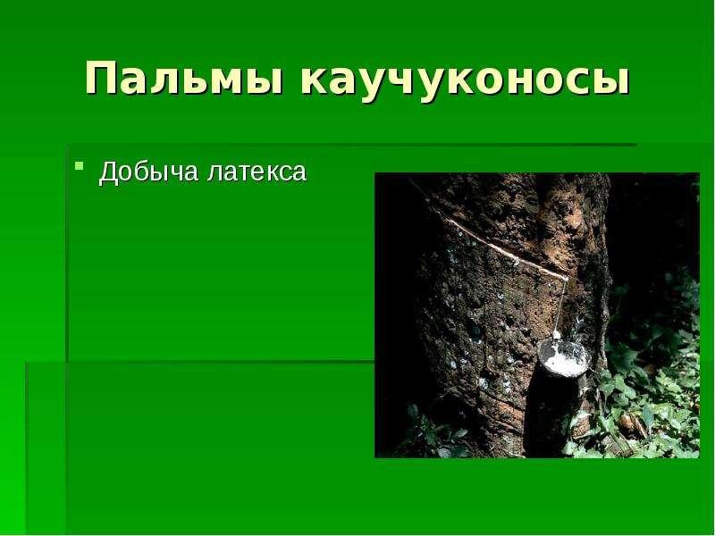 Пальмы каучуконосы Добыча латекса