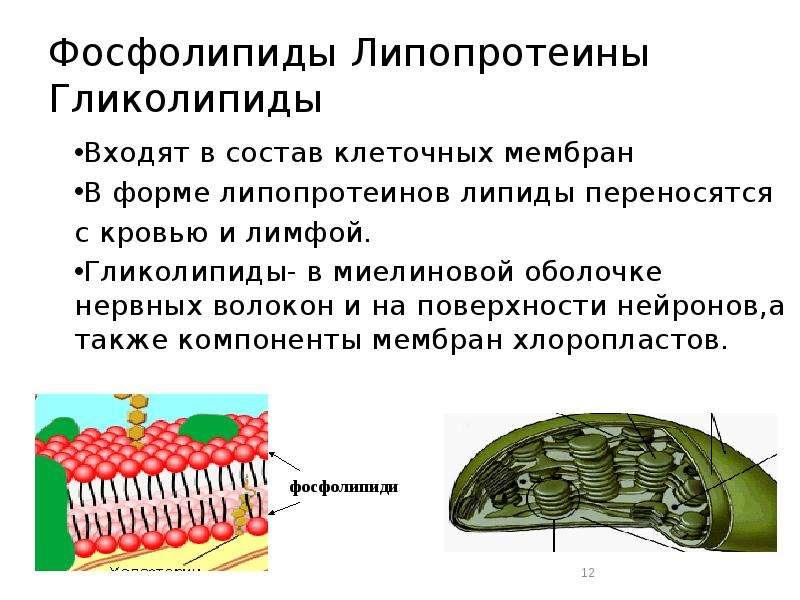 Фосфолипиды Липопротеины Гликолипиды Входят в состав клеточных мембран В форме липопротеинов липиды