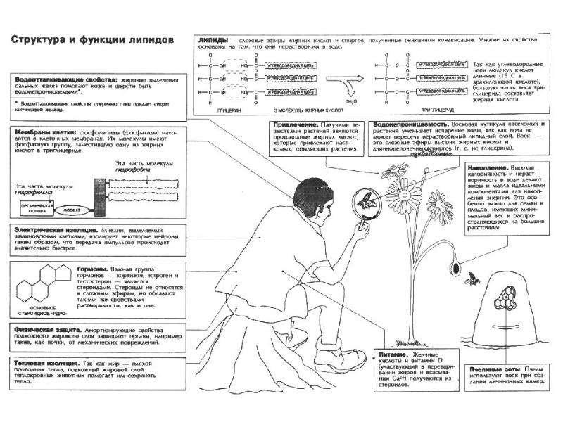 Липиды. Составные части липидов, рис. 17