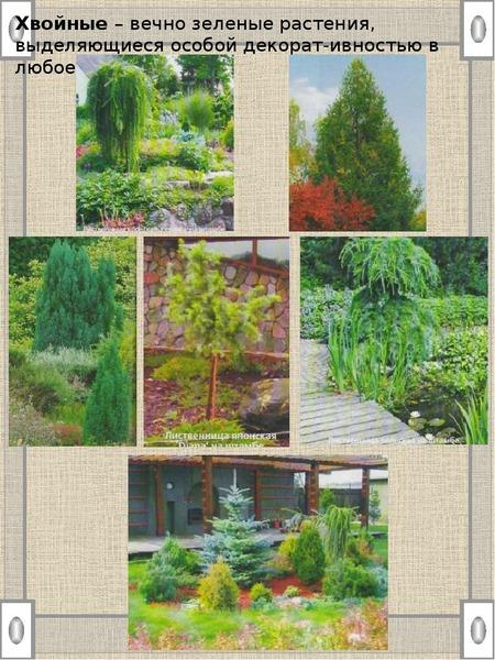 Хвойные – вечно зеленые растения, выделяющиеся особой декорат-ивностью в любое время года. Хвойные –