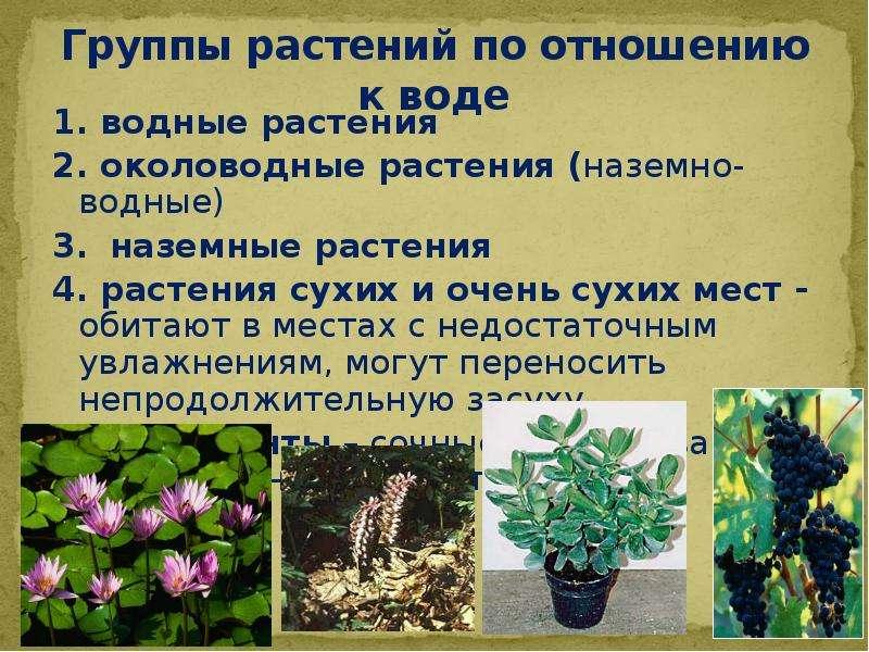 Группы растений по отношению к воде 1. водные растения 2. околоводные растения (наземно-водные) 3. н