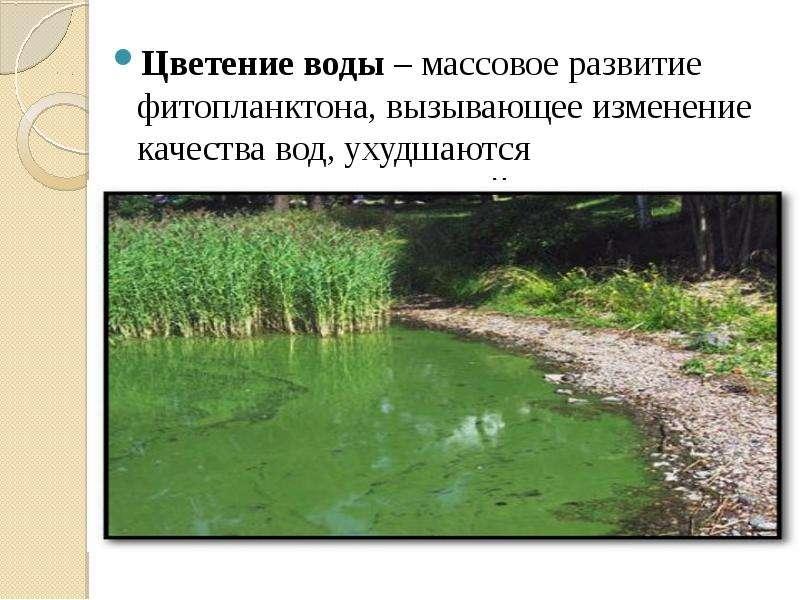 Цветение воды – массовое развитие фитопланктона, вызывающее изменение качества вод, ухудшаются орган