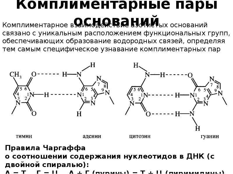 Комплиментарные пары оснований Комплиментарное взаимодействие азотистых оснований связано с уникальн