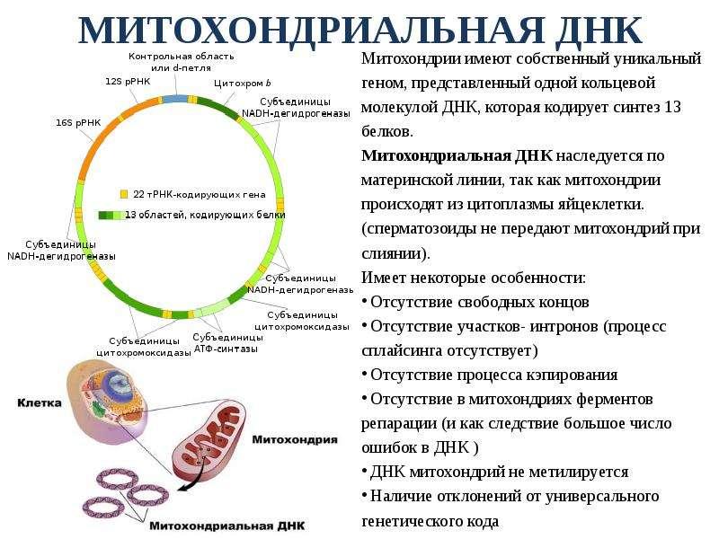 МИТОХОНДРИАЛЬНАЯ ДНК Митохондрии имеют собственный уникальный геном, представленный одной кольцевой