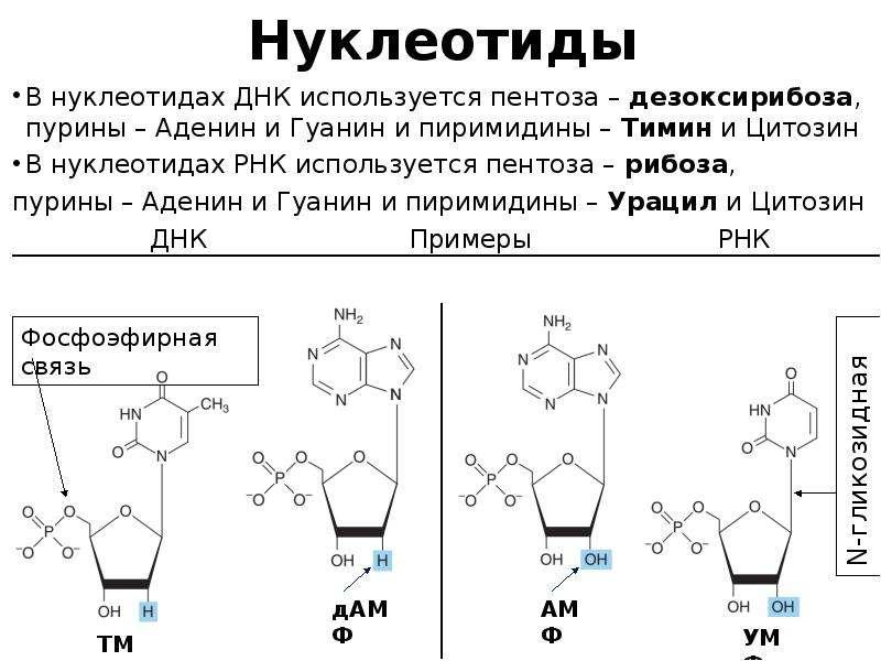 Нуклеотиды В нуклеотидах ДНК используется пентоза – дезоксирибоза, пурины – Аденин и Гуанин и пирими