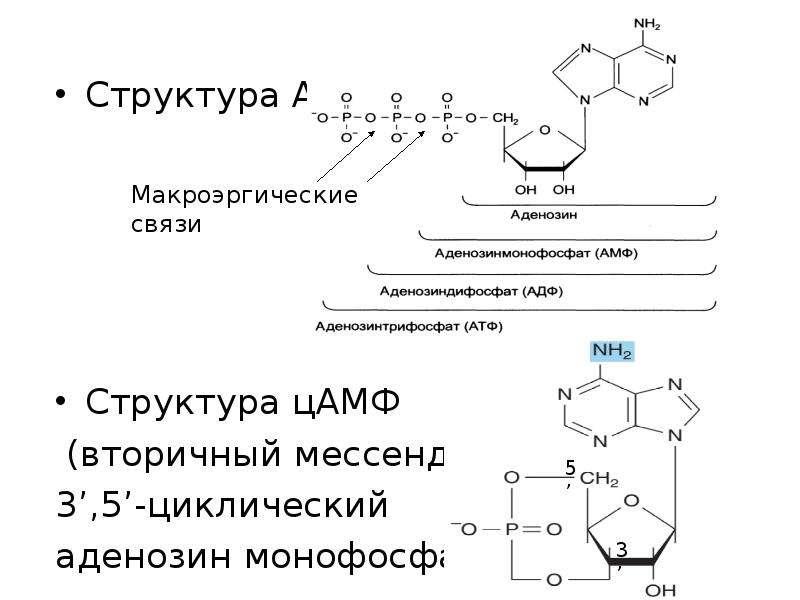 Структура АТФ Структура цАМФ (вторичный мессенджер) 3',5'-циклический аденозин монофосфат
