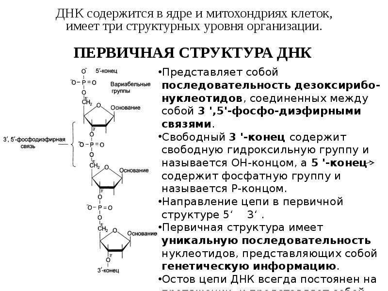 ДНК содержится в ядре и митохондриях клеток, ДНК содержится в ядре и митохондриях клеток, имеет три